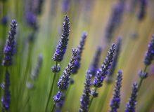 image_lavender
