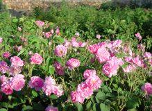 image_rose